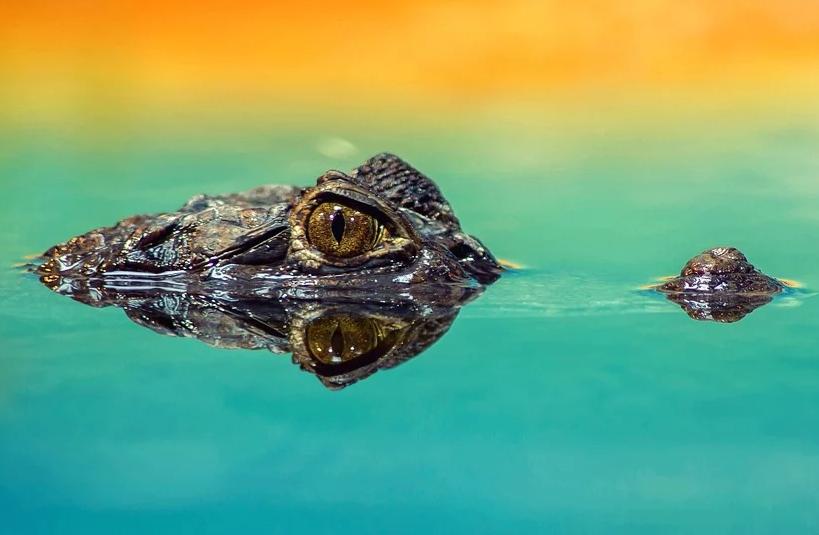 von einem Krokodil sieht man nur die Augen aus dem Wasser ragen.